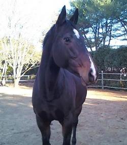Kim Gundersen's Oldenburg mare, Abbey.